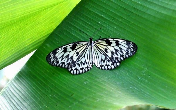 papillon noir et blanc. Black Bedroom Furniture Sets. Home Design Ideas