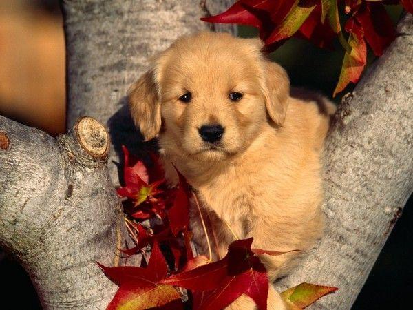 Fond ecrans chiens page 2 - Cute golden retriever wallpaper ...