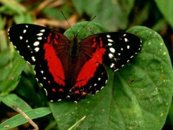 papillon rouge et noir. Black Bedroom Furniture Sets. Home Design Ideas